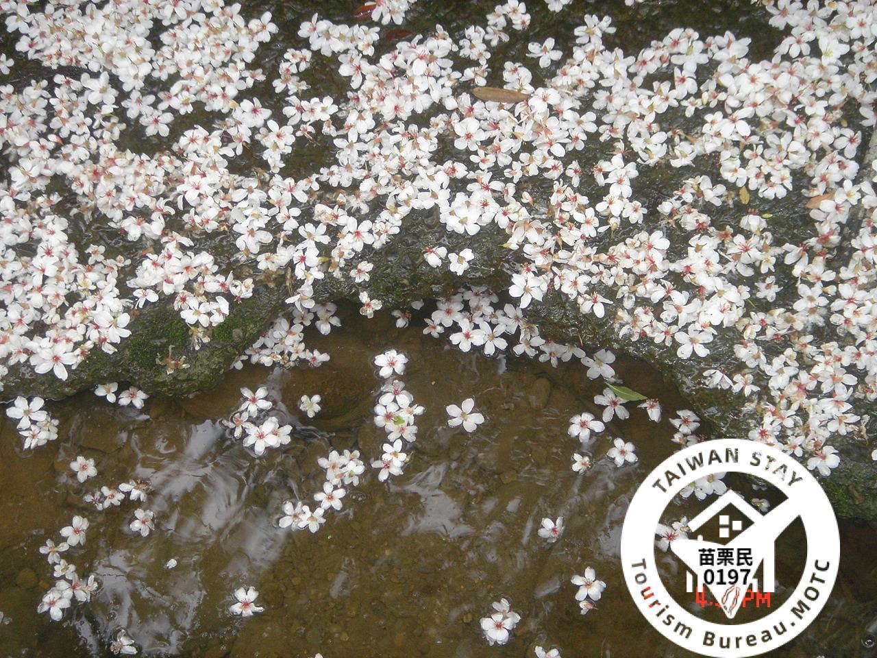 5月欣賞油桐花